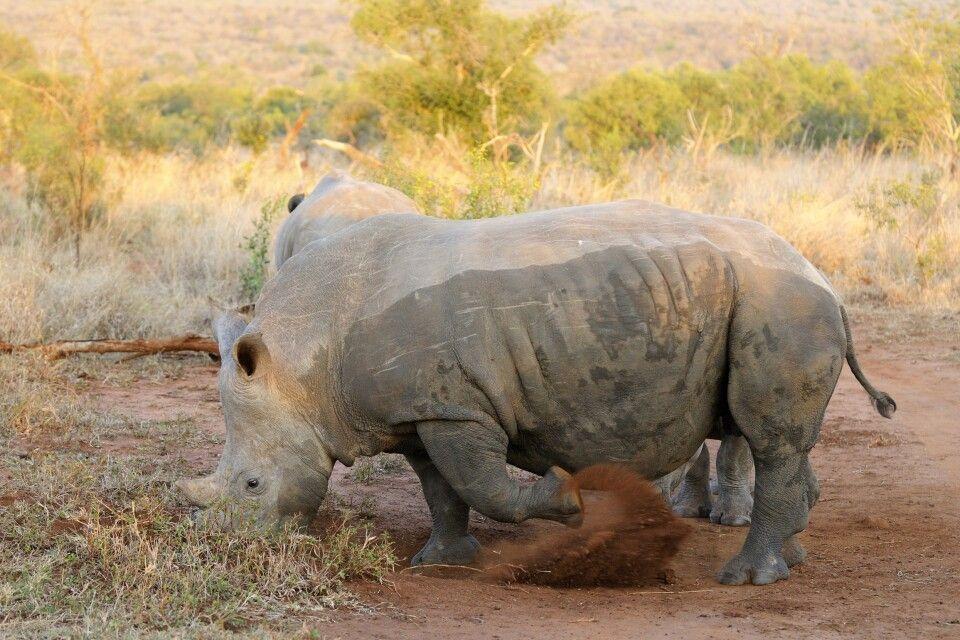 Breitmaulnashorn, Mkhaya Game Reserve, Swasiland