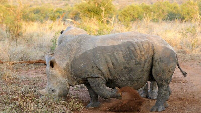 Breitmaulnashorn, Mkhaya Game Reserve, Swasiland © Diamir