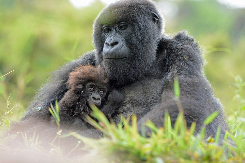 Gorilla hält sein Jungtier liebevoll fest