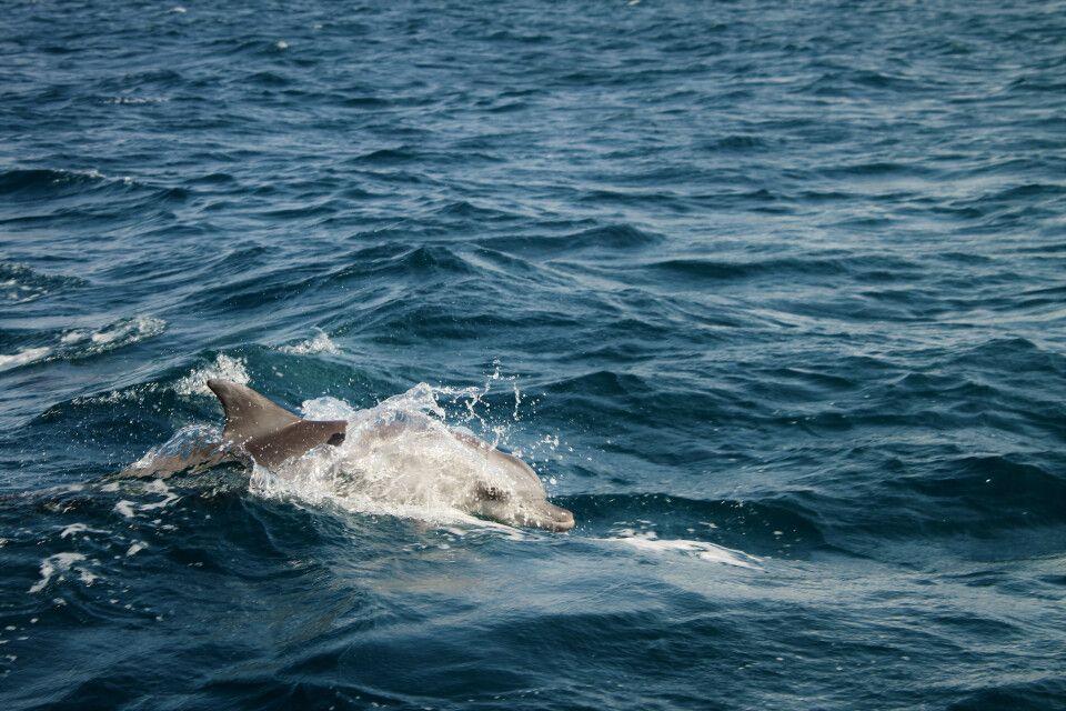 Delfin im Bazaruto-Archipel