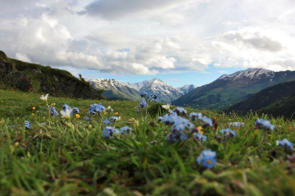 Blumenvielfalt auf den Bergalmen