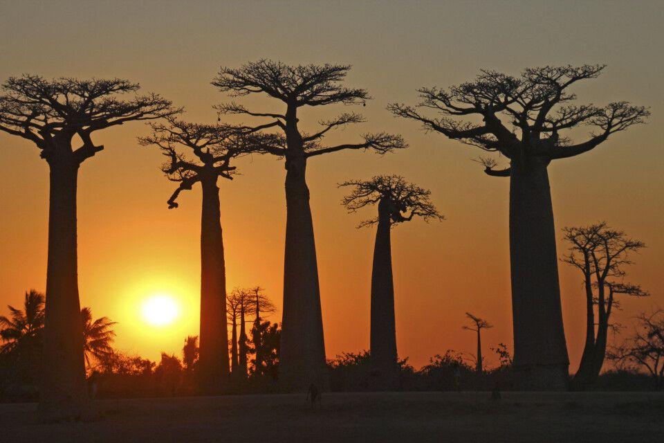 Baobas im Abendlicht