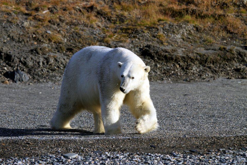 Der Eisbär, König der Arktis