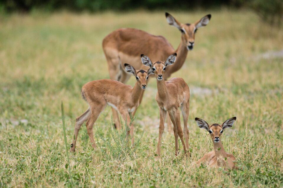 Neugieriger Nachwuchs: Die jungen Impalas sind erst einige Tage bis wenige Wochen alt.