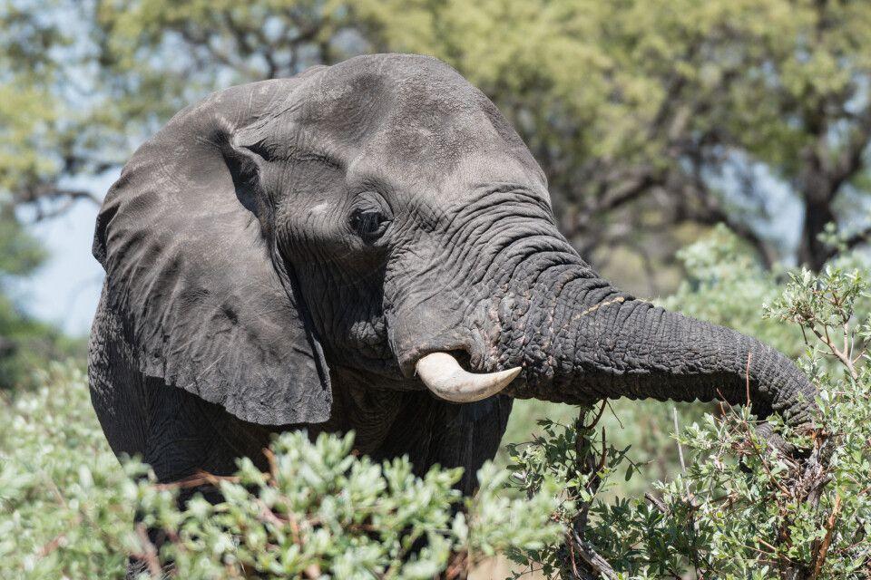 Essenszeit: Elefant labt sich am frischen Grün