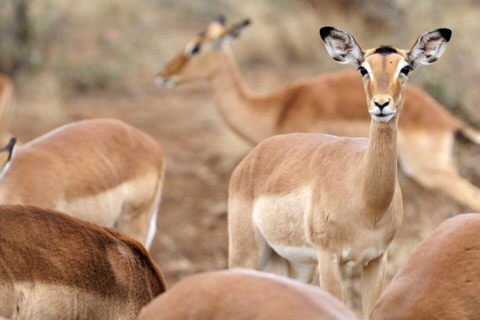 Impalas - Krüger-Nationalpark
