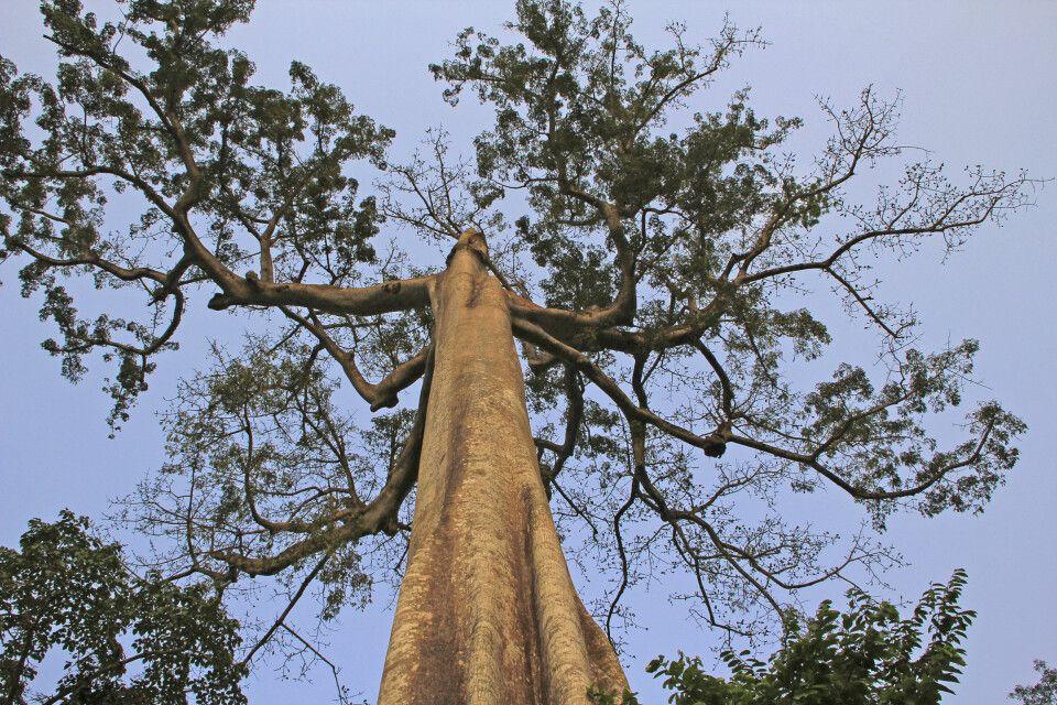 Ceiba Nationalbaum Äquatorialguineas