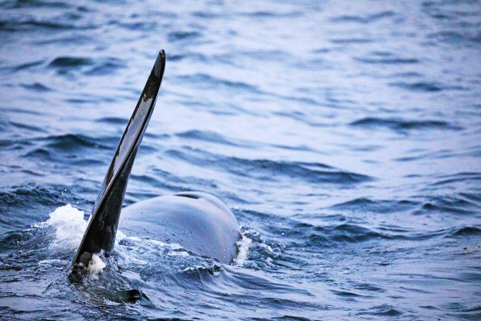 Mächtige Finne eines Orca