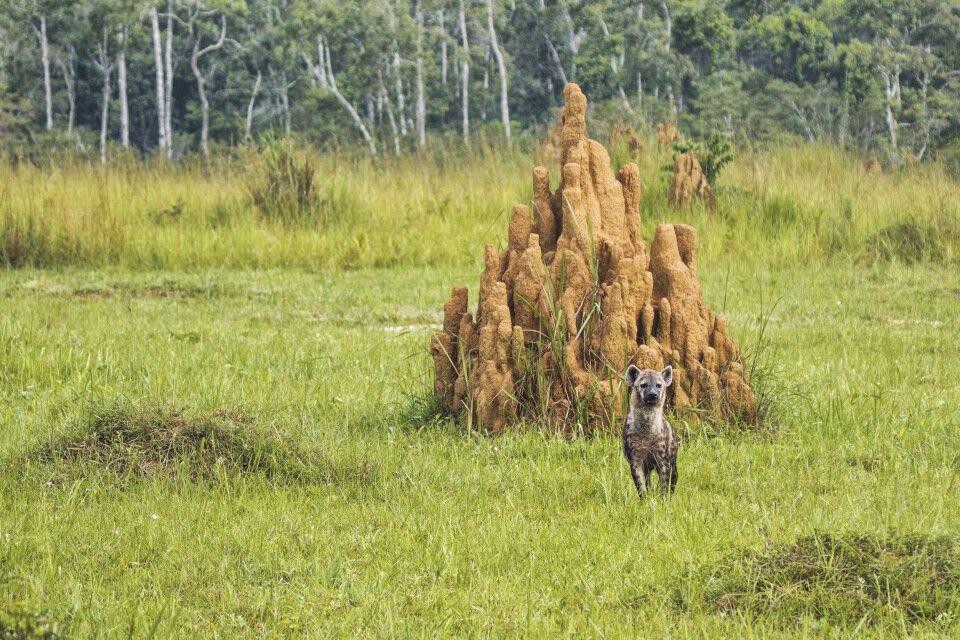Hyäne im kongolesischen Regenwald