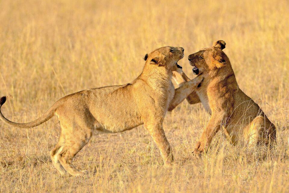 kämpfende Löwen