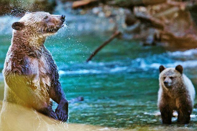 Grizzlymutter mit Jungtieren beim Lachsfang
