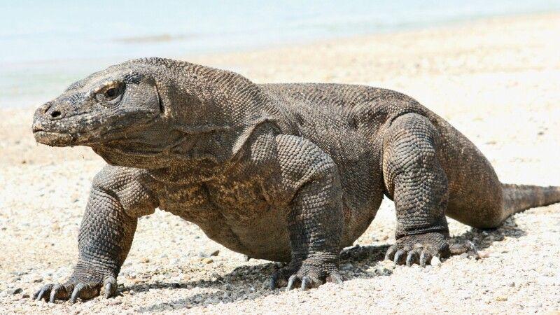 bei den Komodowaranen, der größten gegenwärtig lebenden Echsenart der Welt © Diamir