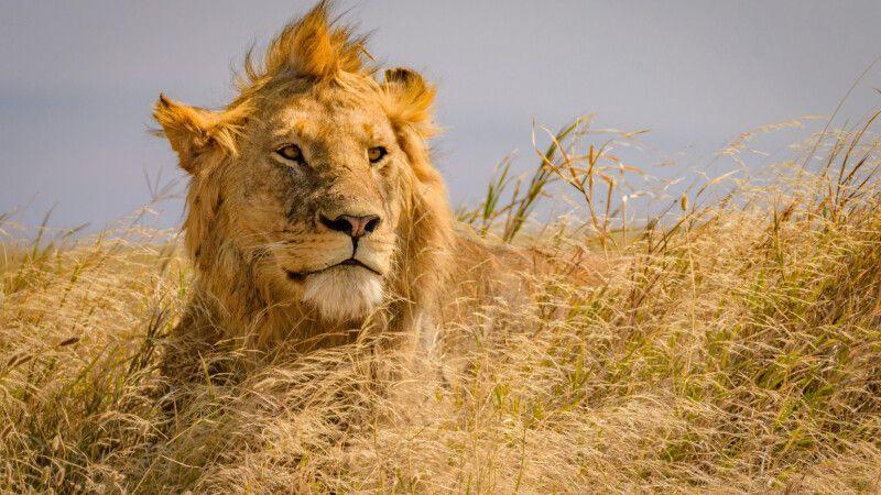 Junges Löwenmännchen in der Masai Mara © Diamir