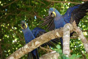 Laut krächzende Hyazinth-Aras im Pantanal