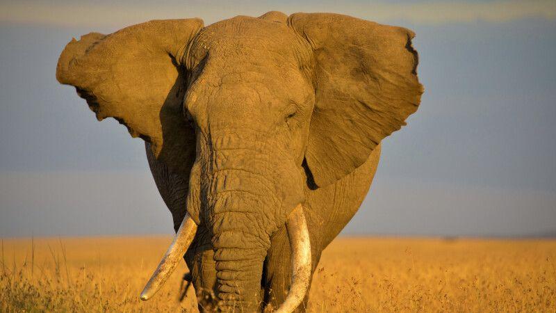 Elefant in der Masai Mara © Diamir