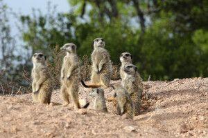 Erdmännchen-Safari