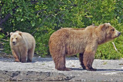 Bären am Kurilensee
