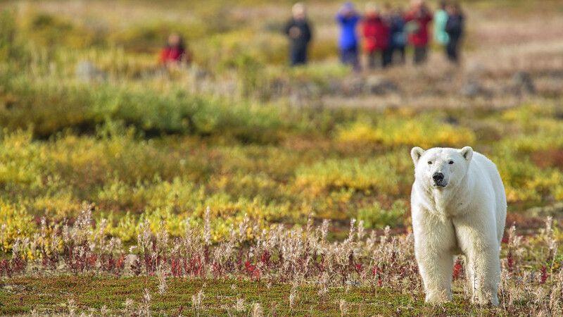 Eisbär wird auf einer Fußpirsch beobachtet, Nanuk Polar Bear Lodge © Diamir