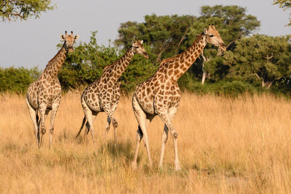 Aller guten Dinge sind drei: Giraffen im Abendlicht, Kwando Concession