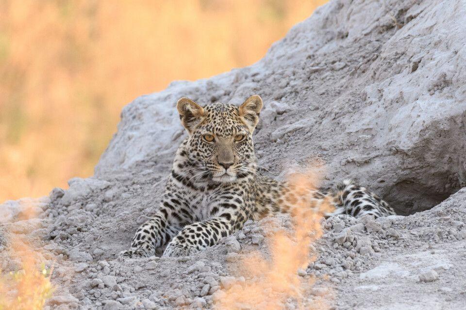 Am Abend thront der Leopard auf einem Termitenhügel, direkt hinter sich eine Höhle als sichere Rückzugsmöglichkeit.