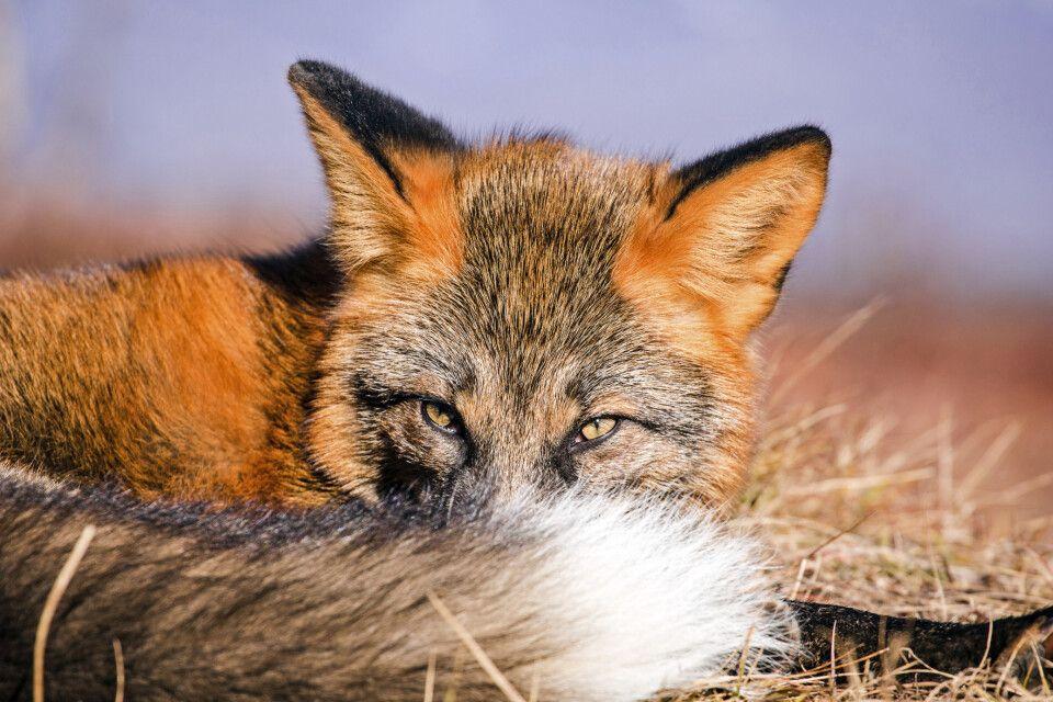 Fuchs in der Tundra