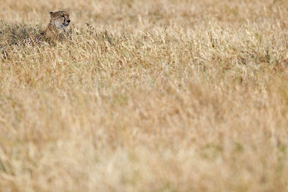 Gepard im Gras
