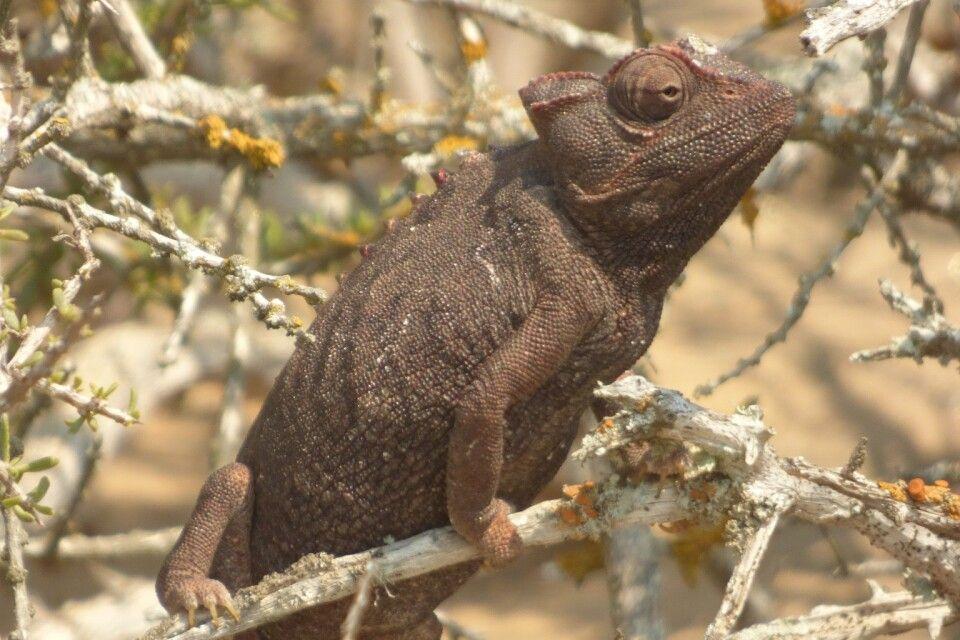 Namaqua - Chamäleon