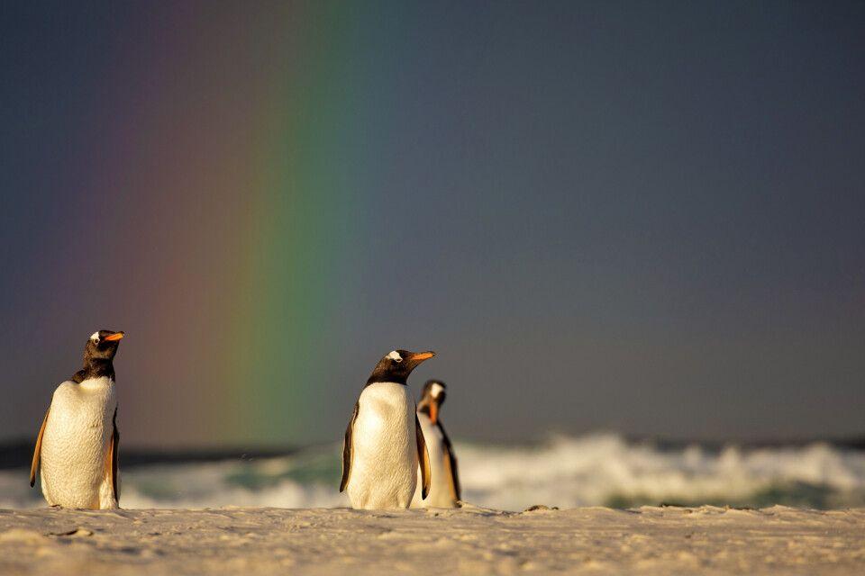 Warmes Regenbogenlicht: Eselspinguine am Strand