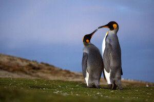 Königspinguin-Paar im Zwiegespräch