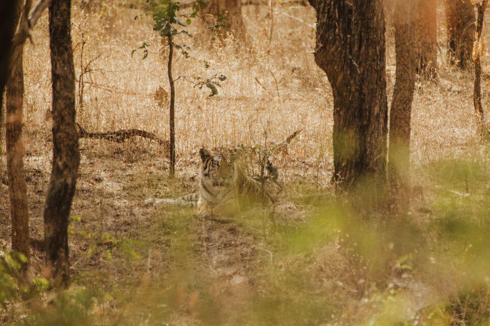 Pench, Tadoba-Nationalpark - Tiger