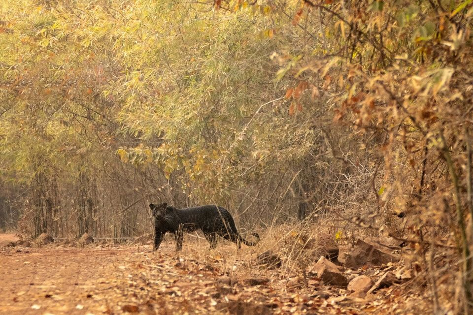 Pench, Tadoba-Nationalpark-Schwarzer Panther