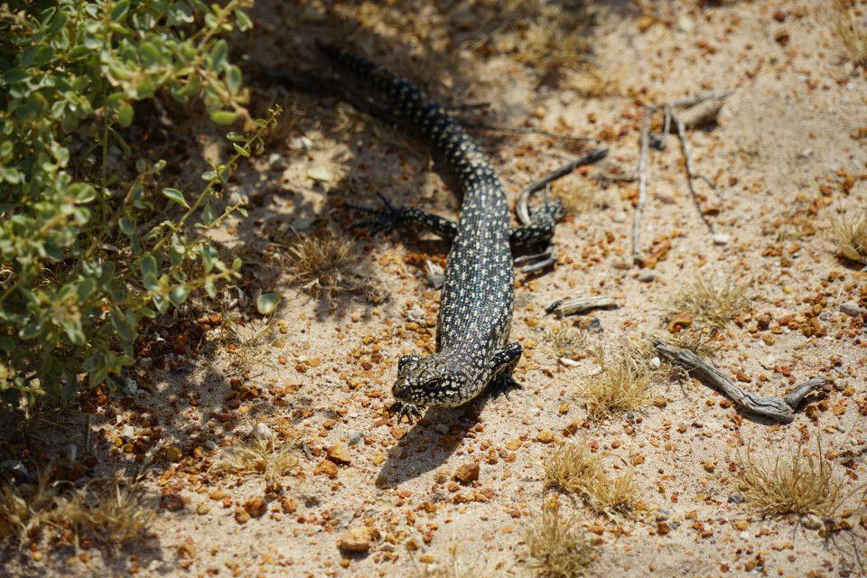 In Westaustralien sind Reptilien keine Seltenheit.