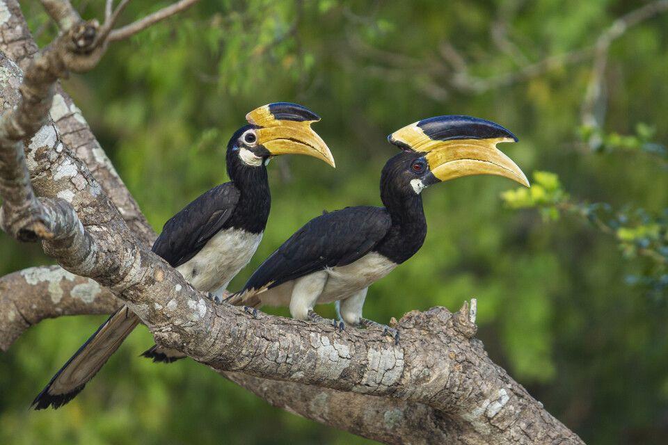 Hornvögel im Kumana-Nationalpark