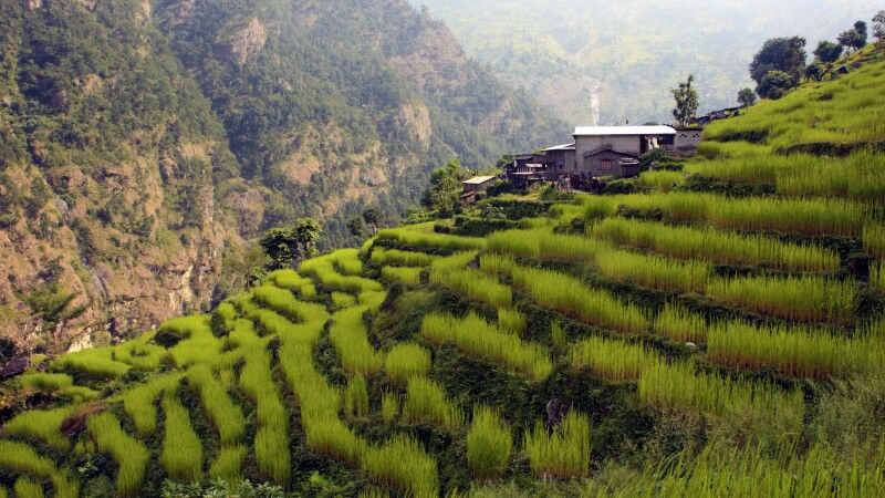 saftig grüne Terrassenfelder in Machha Khola (900 m) © Diamir