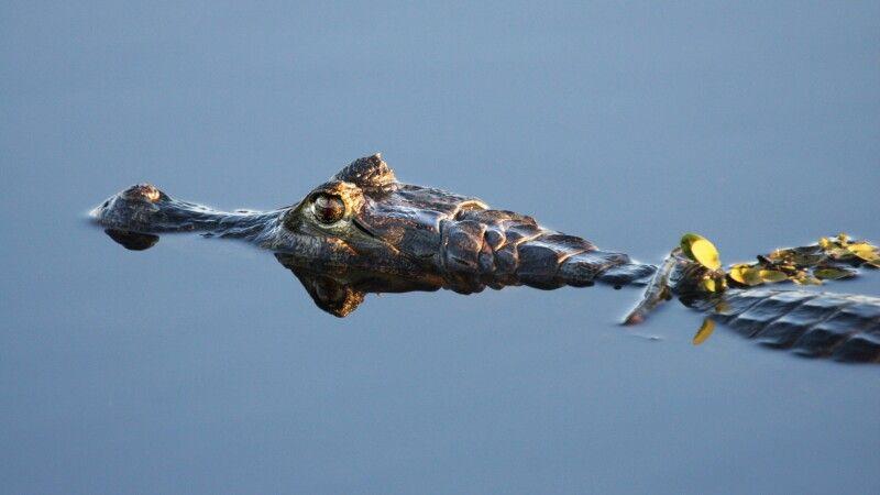 Krokodil auf der Pirsch © Diamir