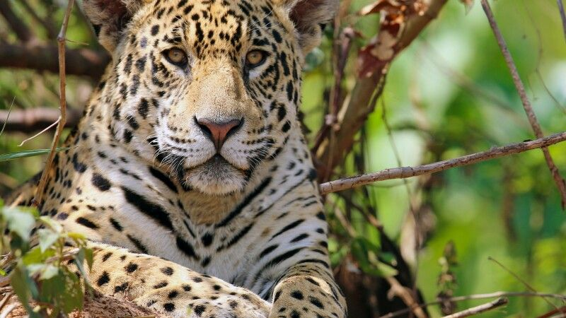 Jaguar © Diamir