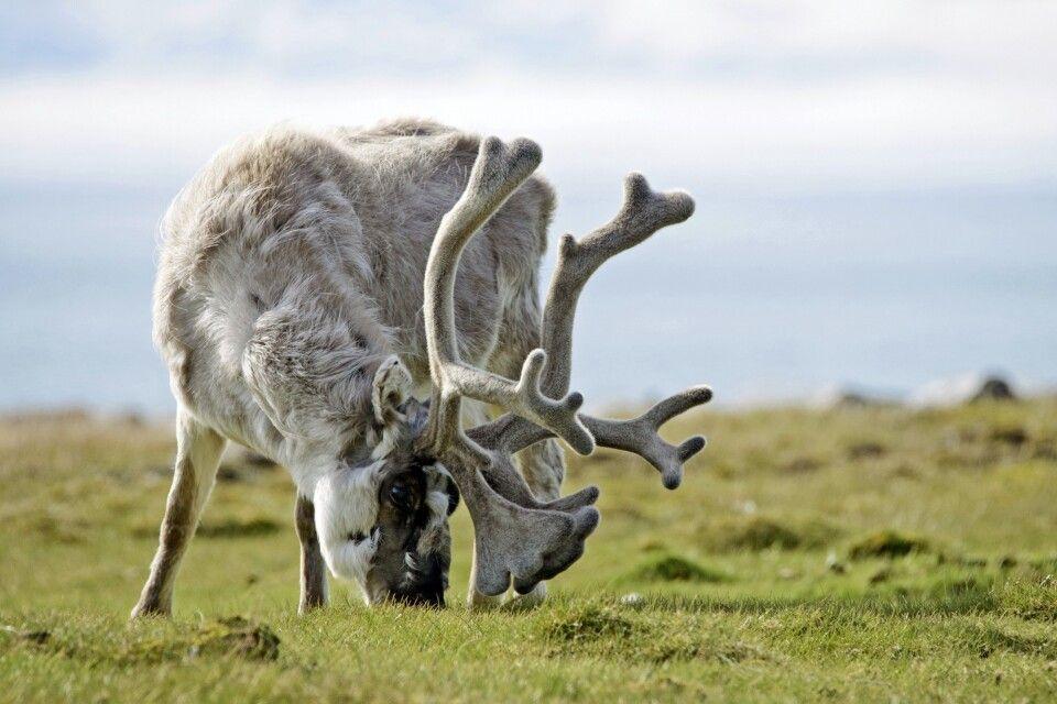 Spitzbergen-Rentier mit prachtvollem Geweih