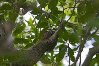 Faultier in den Bäumen