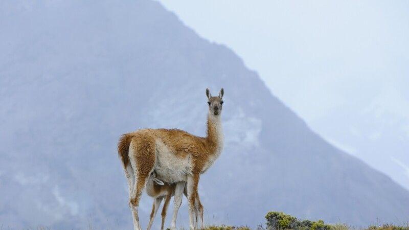 Guanako im Nationalpark Perito Moreno © Diamir