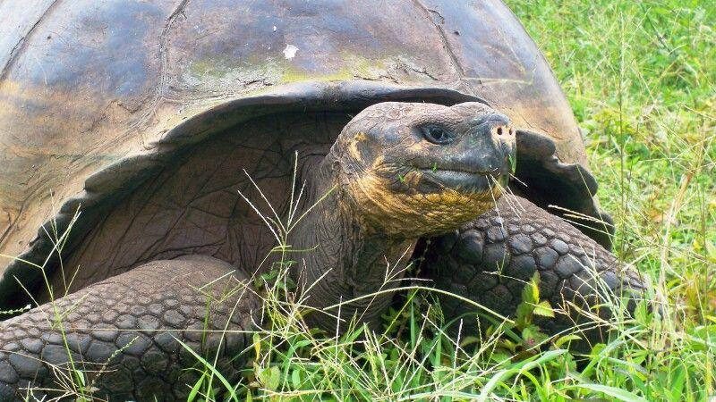 Riesenschildkröte auf Santa Cruz © Diamir