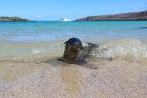 Kleine Galapagos-Robbe am Strand