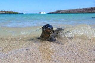 Kleine Galapagos-Robbe am Strand