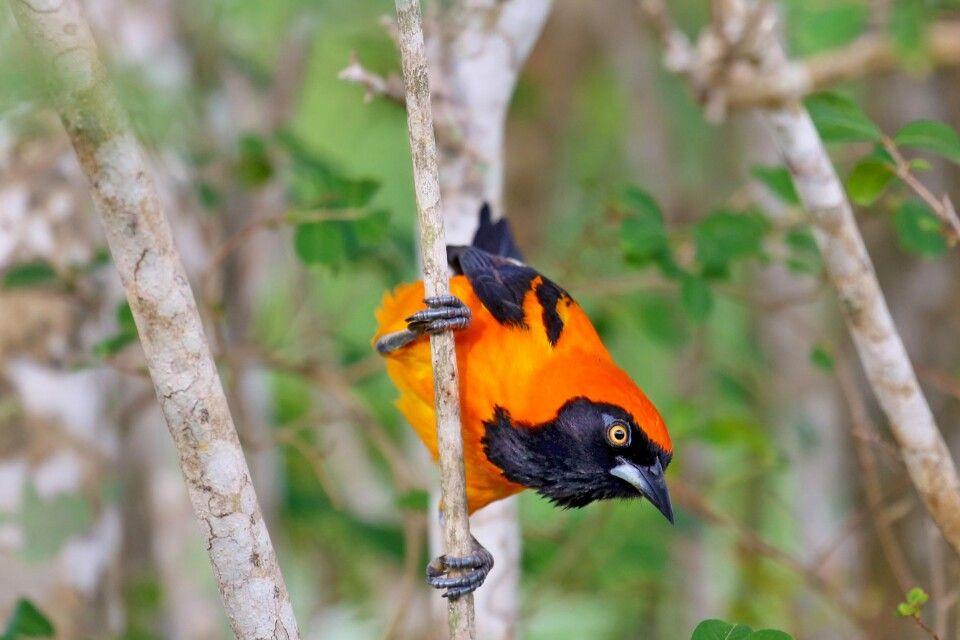 Farbenfroher Vogel im Pantanal